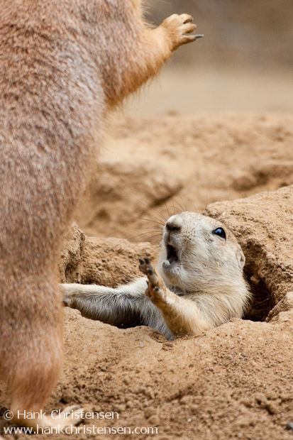 Prairie dog pup about to get trounced by an older (and bigger) sibling