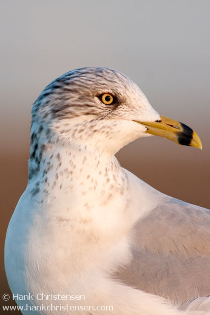 Ring-billed Gull portrait in soft evening light at sunset