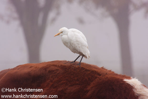 A Cattle Egret perches on a cow in dense fog