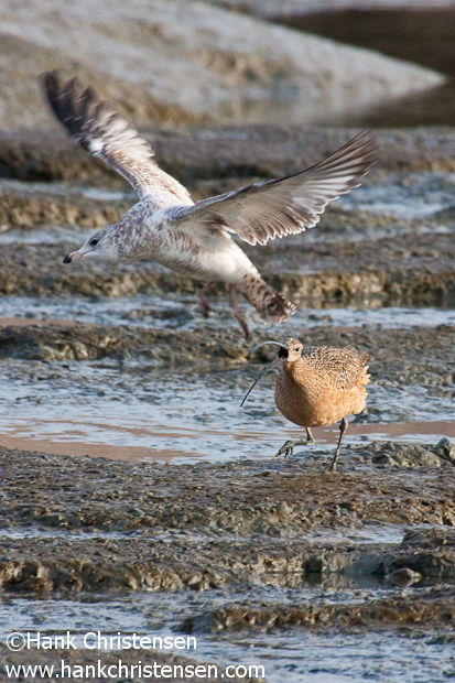 A long-billed curlew snaps at a gull, chasing it away