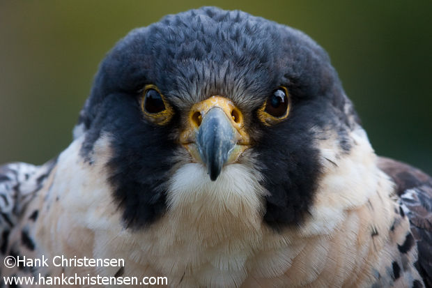 A Peregrin Falcon stares down the camera