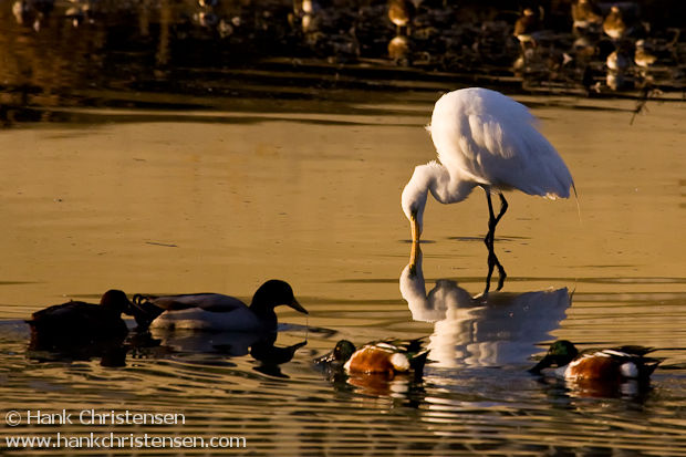 A great egret searching for food is reflected in early morning light