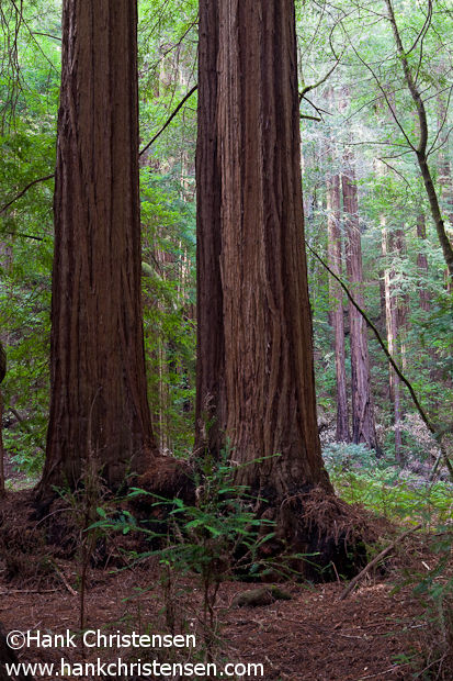 Twin redwoods stretch toward the forest's upper canopy, Muir Woods National Monument