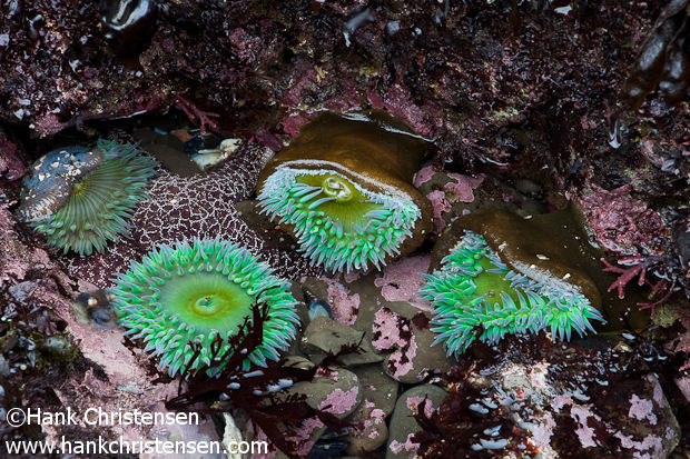 A starfish sits in a tide pool with anemones, Moss Beach, California