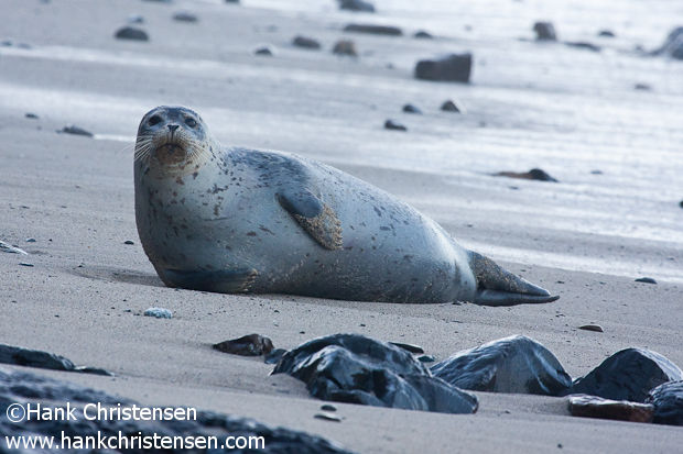 A harbor seal glances up after a rising tide awakens him from his slumber