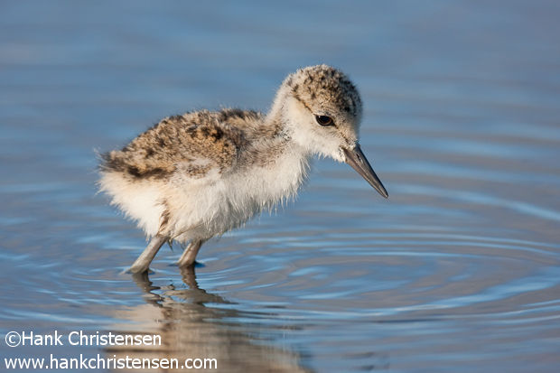 A black-necked stilt chick wades through shallow water, Baylands, Palo Alto, California