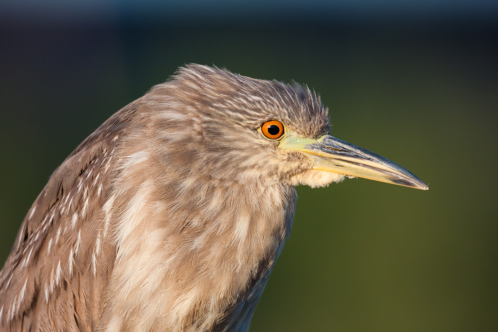 Juvenile Black-crowned Night Heron.  A small strip of sky is visible at the top of the frame.