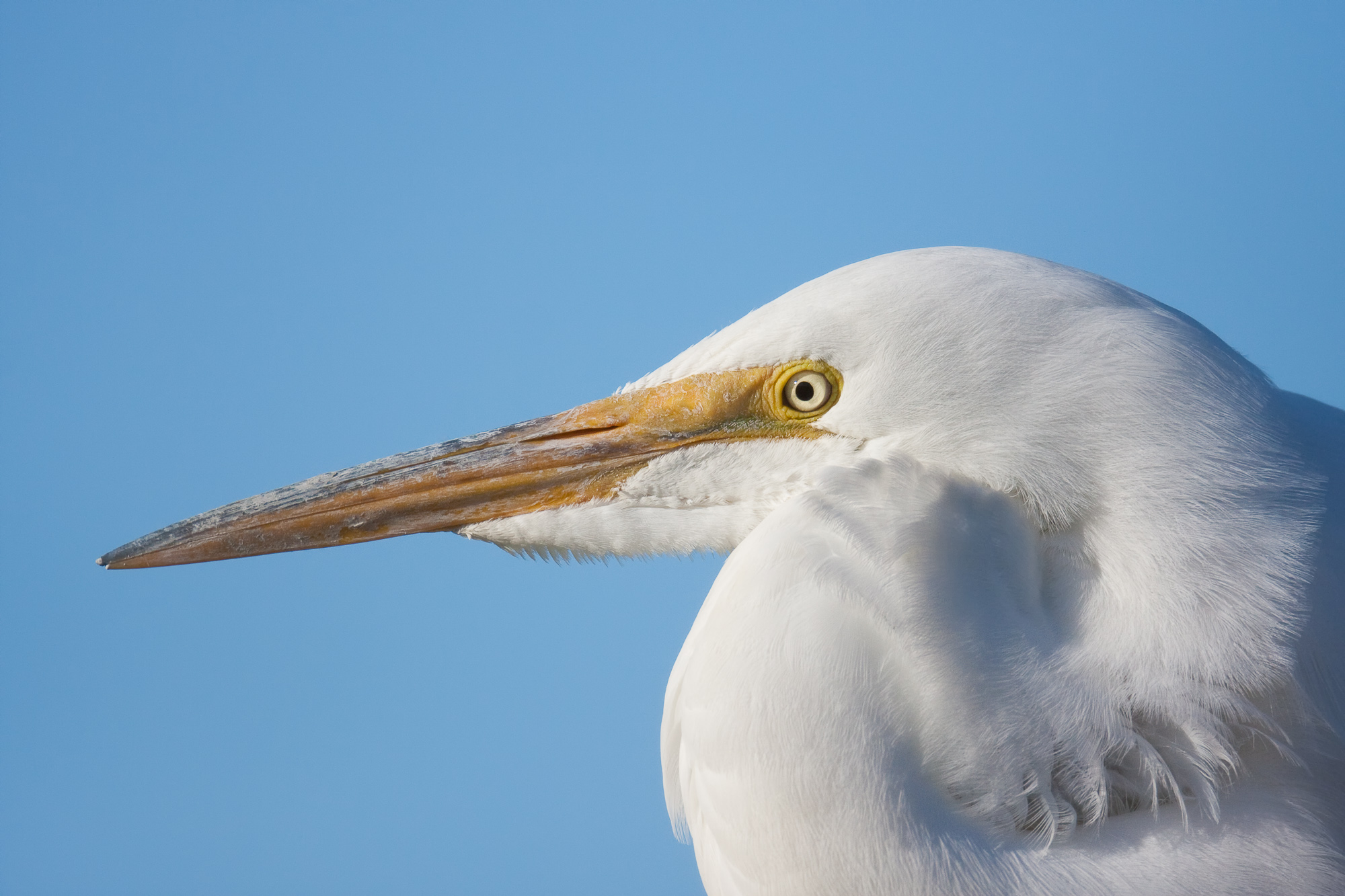 A great egret poses in soft evening light, preparing to fish for dinner