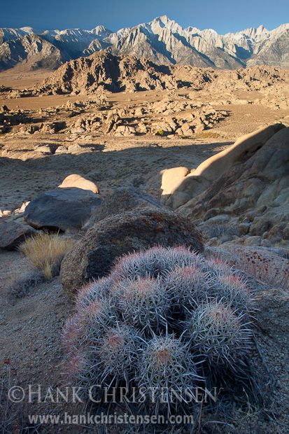 Barrel cactus flourishes in the high desert of Alabama Hills