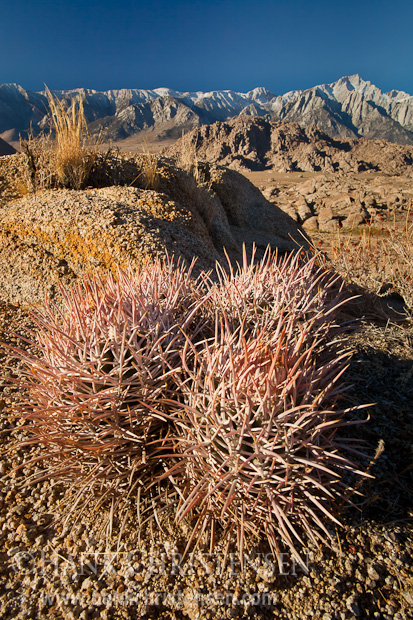 Barrel cactus grows throughout the dynamic landscape of Alabama Hills