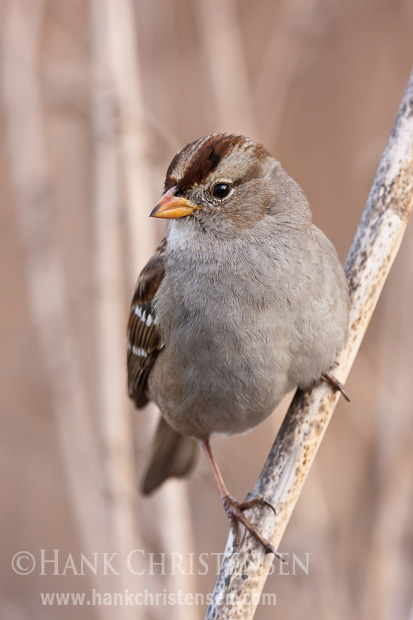 An immature white-crowned sparrow clings to a stalk