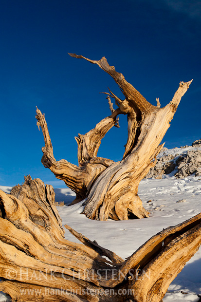 A bristlecone log frames an upright tree, both of which have lived for thousands of years, White Mountains, CA