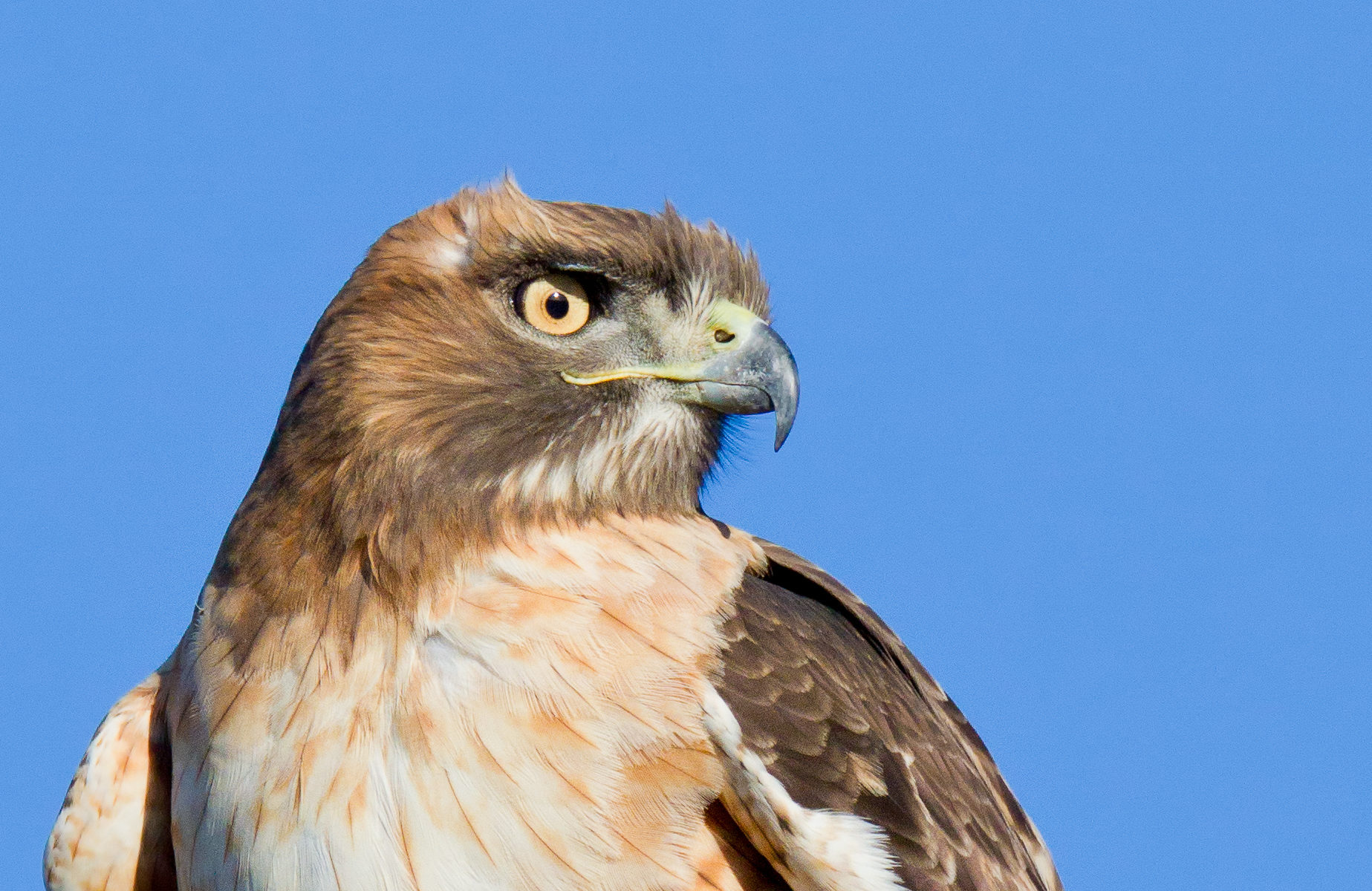 A red-tailed hawk constantly scans the surrounding area for prey