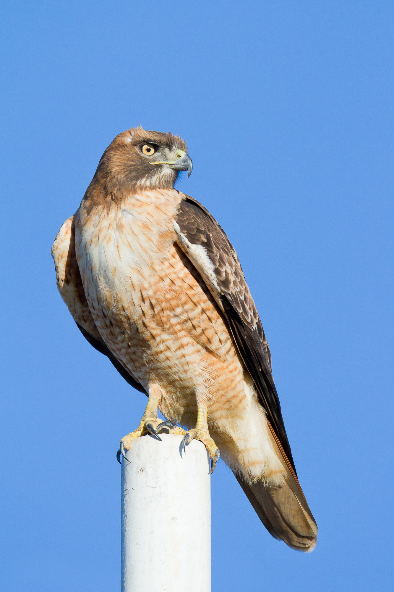 A red-tailed hawk perches on a tall pole, looking for prey