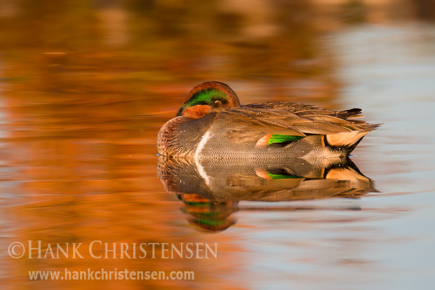 A green-winged teal sleeps as it floats, its reflection cast in the still water