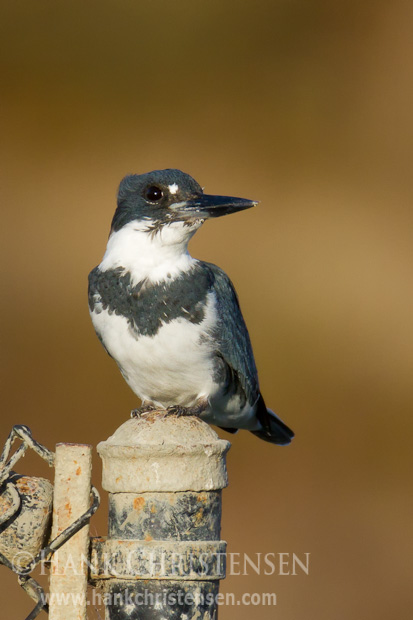 A belted kingfisher perches on a metal fencepost