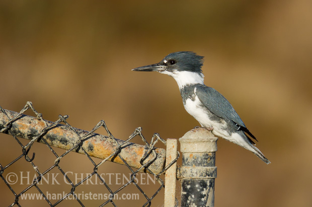 A belted kingfisher perches on a chain-linked fence, ready to take flight