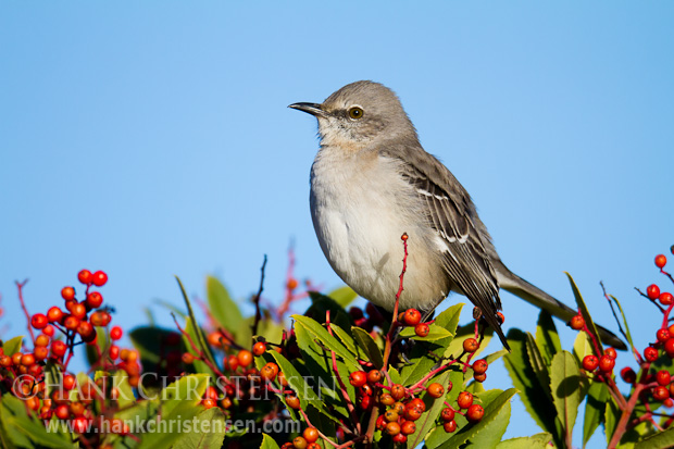 A northern mockingbird perches atop a bush filled with berries