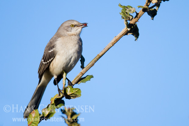 A northern mockingbird perches on a small branch with a berry in its mouth