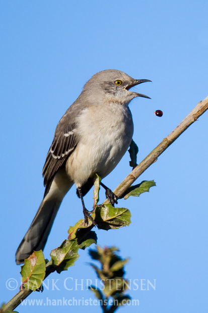 A northern mockingbird drops a berry as it tries to eat it