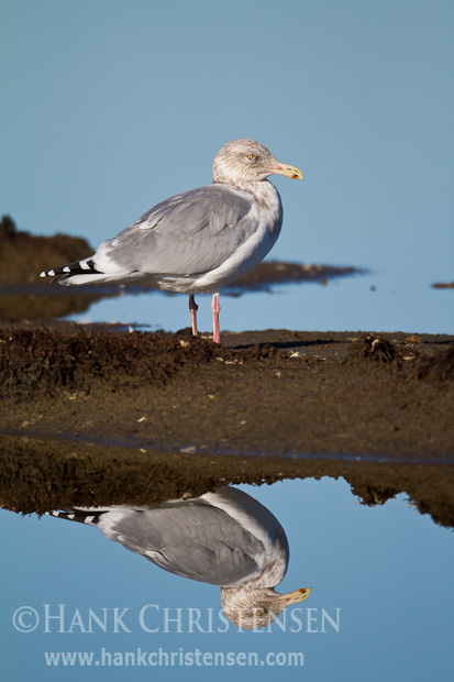 A herring gull is reflected in still glassy water