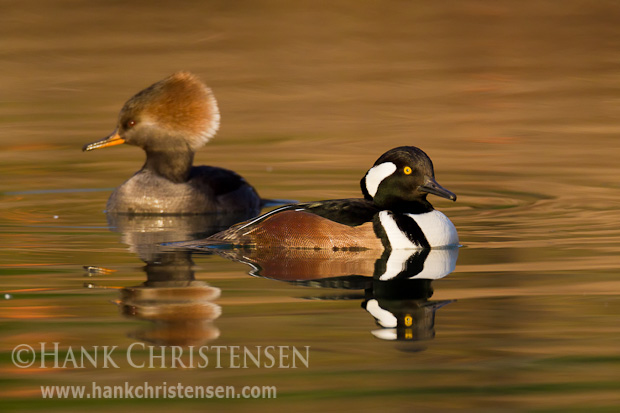 A pair of hooded merganser swim together, reflected in the water
