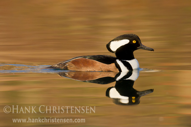 A male hooded merganser swims with a flattened crest