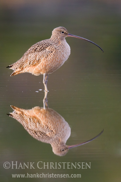 A long-billed curlew stands in shallow water, reflected in the morning light