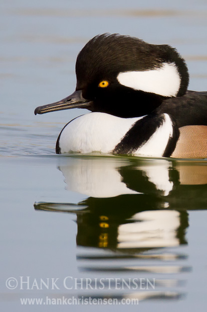 Like other merganser, the hooded merganser has a long, serrated bill for gripping fish
