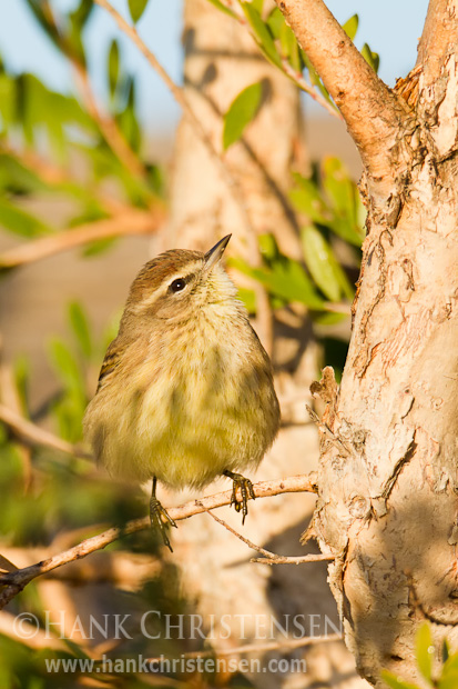 A palm warbler perches on a small twig of a tree