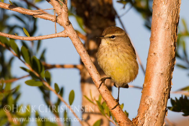 A palm warbler perches on a tree branch in early morning light