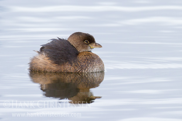 A pied-billed grebe sinks his head and fluffs his wing feathers in a display of courtship