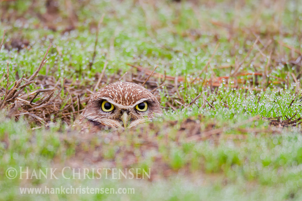A burrowing owl stares out from its burrow, eyes barely above ground