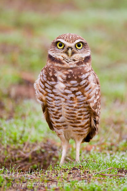 The obligatory burrowing owl standing straight-on shot!