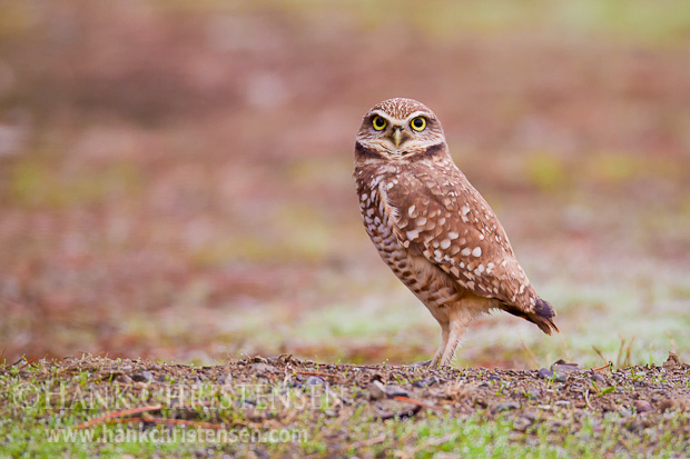 A burrowing owl stands on a small berm overlooking its burrow