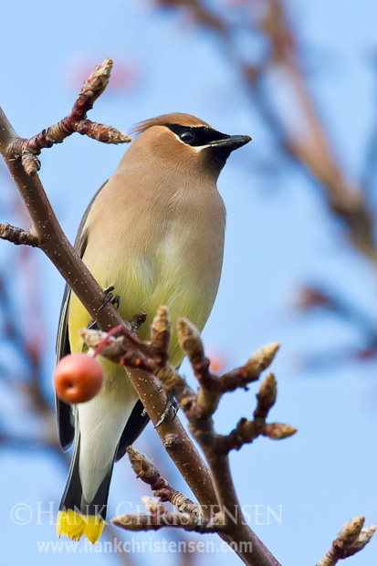 A cedar waxwing perches on a tree in soft diffused light