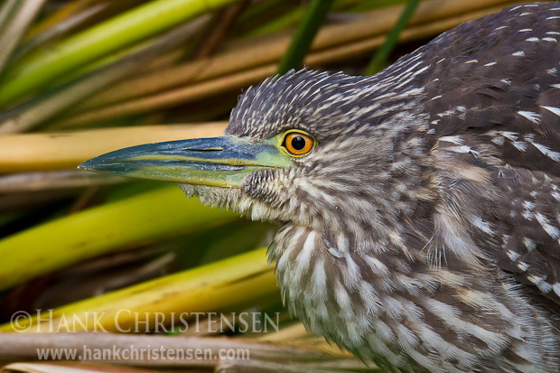 A juvenile black-crowned night heron perches among reeds along the edge of a pond