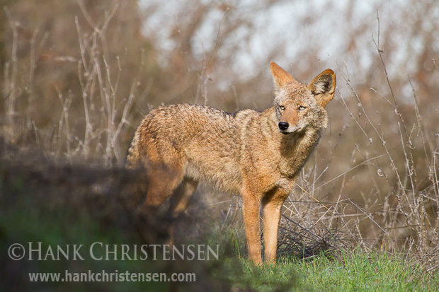 A coyote stops along an animal trail to stand in a brief patch of sun