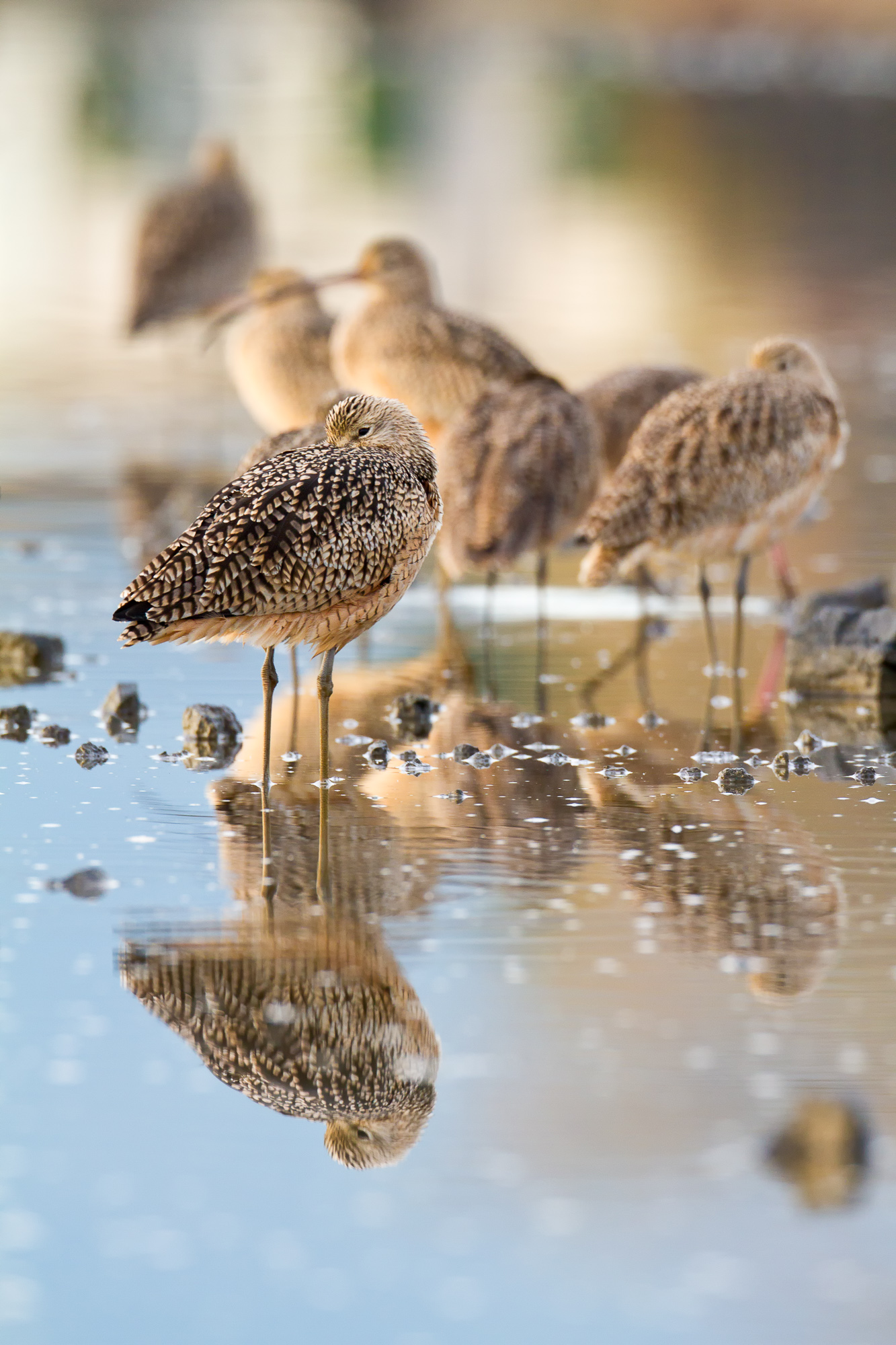 Several long-billed curlews stand together in a shallow wetland pool