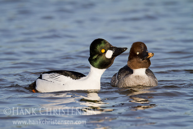 A male common goldeneye attempts to impress a female by lengthening his neck and extending his head