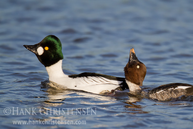 A male common goldeneye attempts to impress a female by lengthening his neck and extending his head. The female mimics the behavior in reply