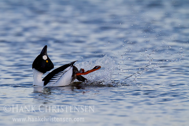 A male common goldeneye courts a female by touching the back of his head to his back, calling into the air, then lurching forward with a long neck, calling out with head extended straight up, and finally kicking vigorously with his feet.