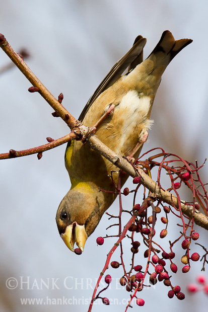 A female evening grosbeak hangs upside down from a branch of a chinese pistache tree in order to reach some nuts