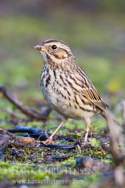 A savannah sparrow pauses from pecking at seeds to pose for a portrait