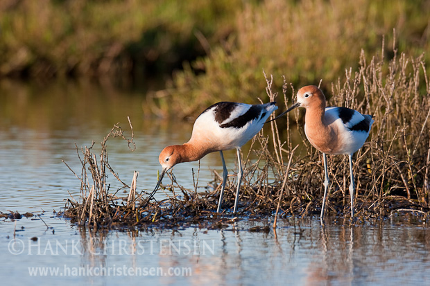 An American avocet pair gather nest building material