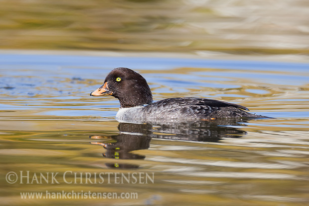 A female Barrow's Goldeneye swims through a narrow water channel in the low light of a late winter afternoon