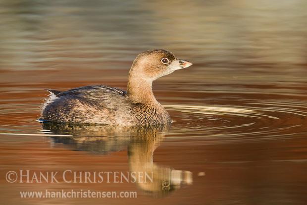 A pied-billed grebe swims through still water