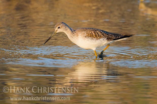 A greater yellowlegs stands in shallow water, reflecting the golden colors of sunset