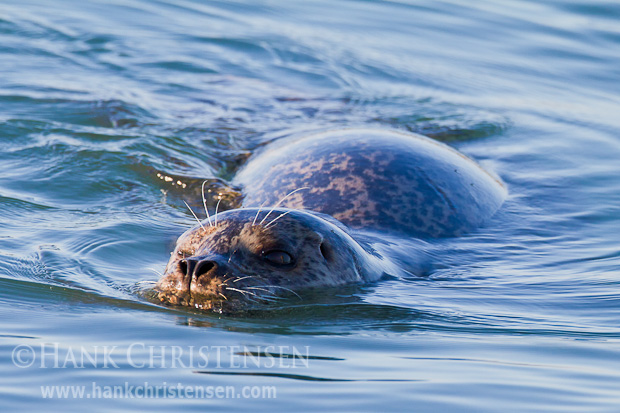 A harbor seal swims just under the surface of the water, head just peeking out