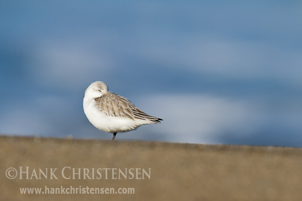 A lone sanderling sleeps on a smooth beach, framed by a distant ocean
